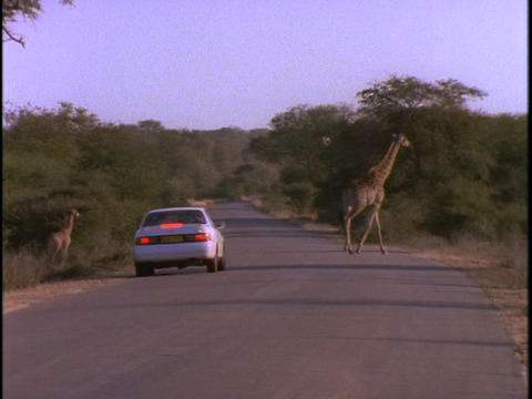 A white sedan stops to let a herd of giraffe cross Stock Video Footage