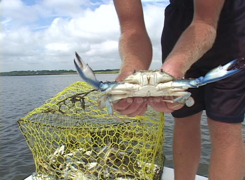 A person holds up a freshly caught crab for a close-up Stock Video Footage