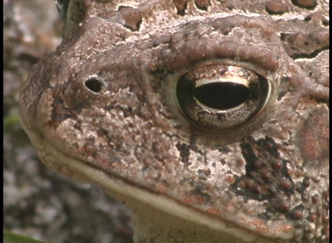 A frog flutters its throat rapidly Stock Video Footage