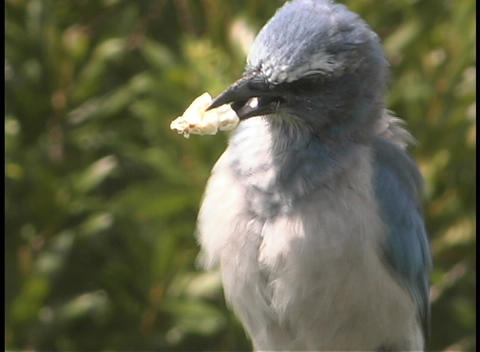 A bird holds a piece of food in its beak as it flies out... Stock Video Footage
