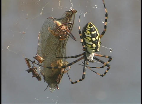 A black and yellow argiope spider wiggles its legs as it... Stock Video Footage