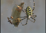 A black and yellow argiope spider wiggles its legs as it hangs from its web Footage