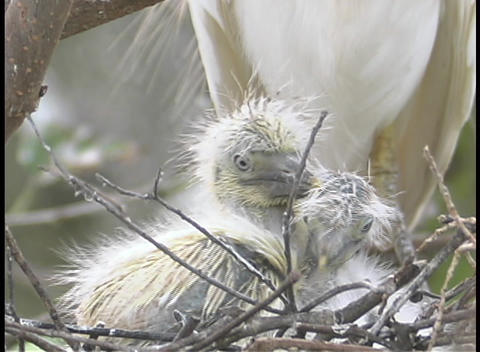 young chicks play together in a nest as their mother... Stock Video Footage