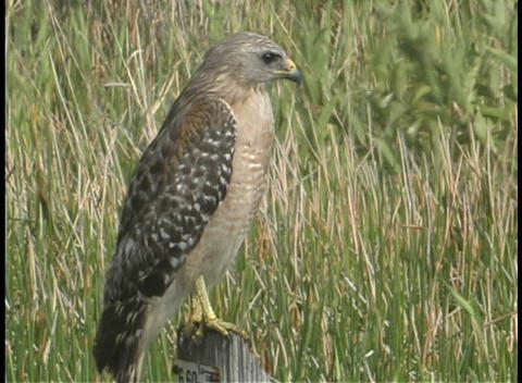 A hawk stands motionless on a fence post as the wind... Stock Video Footage