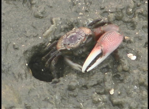 A fiddler crab eats dirt as it slowly crawls out from its... Stock Video Footage