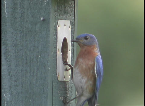 A blue and red bird pokes its head in and out of a hole... Stock Video Footage