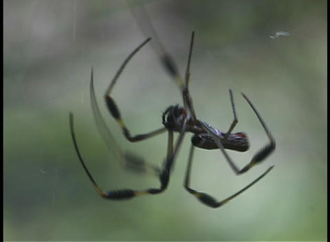 A large black spider chases a smaller spider Stock Video Footage