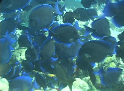 Tropical fish swim around a coral reef near the ocean floor Footage
