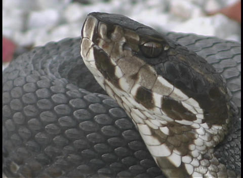 A snake sits motionless with its head pointed into the air Footage