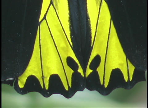 A butterfly displays it's bright yellow and black wings Footage