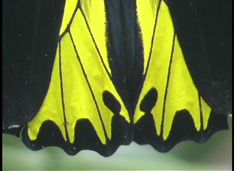 A butterfly displays it's bright yellow and black wings Stock Video Footage