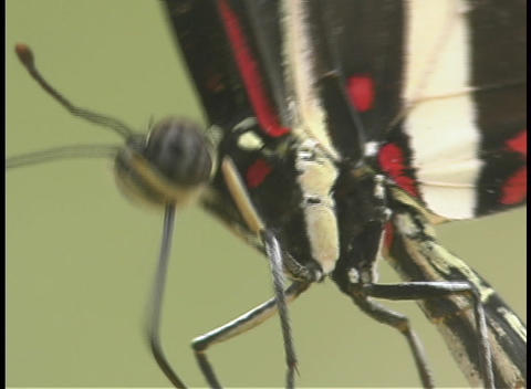 A red and black butterfly moves its legs Stock Video Footage