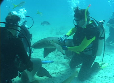 Scuba divers mingle with nurse sharks on the ocean floor Stock Video Footage