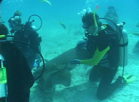 Scuba divers mingle with nurse sharks on the ocean floor Footage