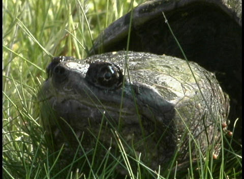 A turtle rest in the tall grass Stock Video Footage