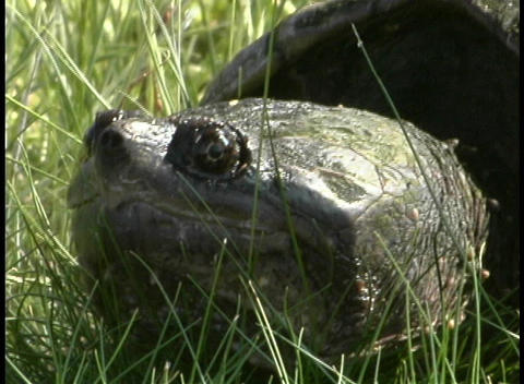 A turtle rest in the tall grass Footage
