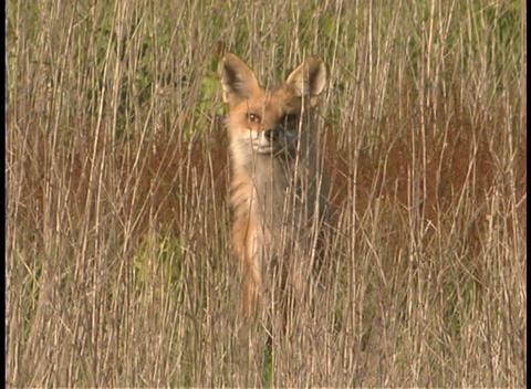 A red fox rests in the tall grasses Footage
