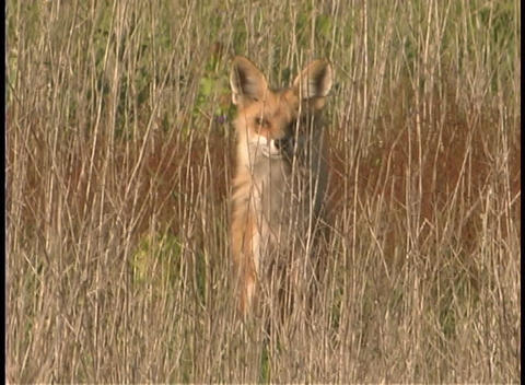 A red fox rests in the tall grasses Stock Video Footage