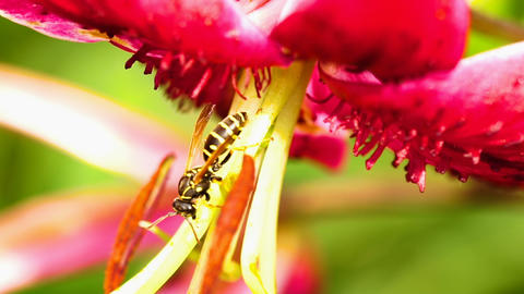 Wasp on a flower lily Live Action