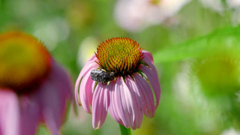 Beetle on a Echinacea flower Live Action