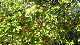 Apricots fruit hanging at branch of tree a sunny day in a plantation Footage