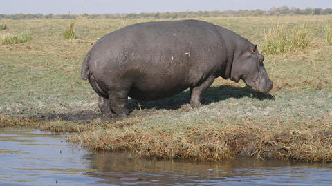 Hippopotamus in Chobe National Park Footage