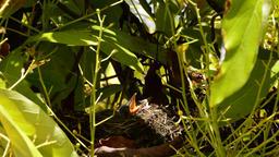 Baby birds in a nest with open beak Footage