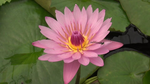 The dragonfly alight on a water lily Footage