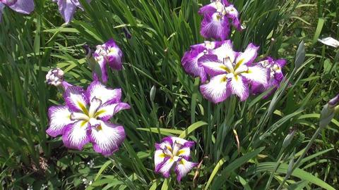 Iris flowers are in full bloom (Miyajidake shrine Fukuoka, Japan) Footage