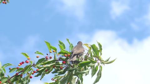 Common Blackbird On The Cherries Footage