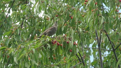 Common Blackbird Eating Cherries Footage