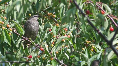 Blackbirds Into The Garden Footage