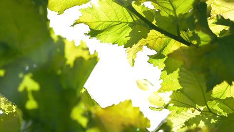Green leaves leaf background Footage