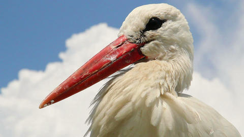 Stork head and beak close up shot. Cloudy background Footage