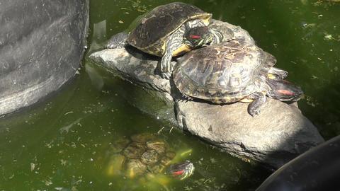 Freshwater tortoise (LAT. Trachemys scripta) Footage