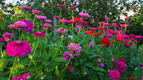 Blooming flowers zinnias in the garden Footage