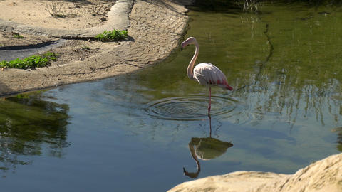 Pink flamingo stands in the water and washes. Pink bird in the water. Bird in Live Action
