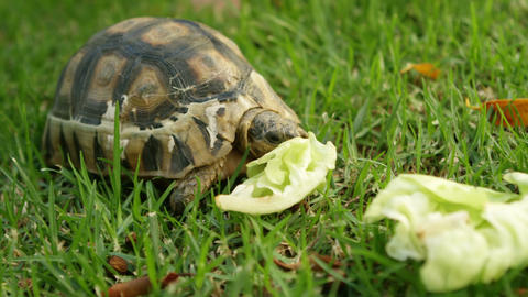Tortoise eating food in home yard 4k Live Action