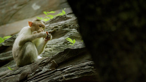 Monkey Eating Coconut in the Rain forest, Monkey Forest Live Action
