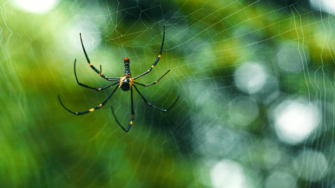 Giant Spider Moving in the Forest, Spider hanging and moving in web in rain forest background Live Action