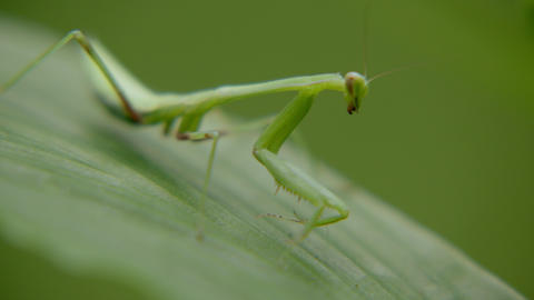 Green grasshopper sits on leaf in forest. Macro shot Live Action