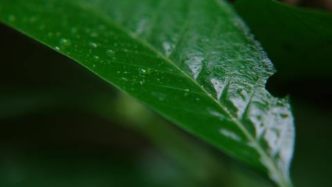 Macro shot of green leaves with drops of dew water over. Autumn concept, forest, trees, forest, Live Action