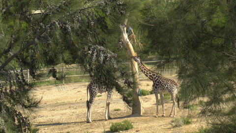 Giraffes eats leaves from a tree. View of giraffes from behind the trees Live Action