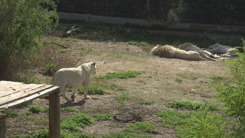 White lioness goes to sleeping lions. Lions in the african zoo in the open air Live Action