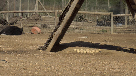 African ostrich sits on the ground. Many ostrich eggs lie on the ground. Bird in Live Action