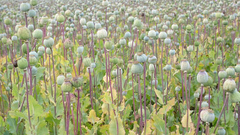 Field of poppies. (Papaver somniferum). Poppies, agricultural crop Live Action