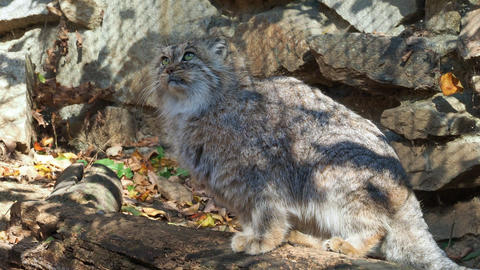 Manul or Pallas's cat, Otocolobus manul, cute wild cat from Asia Live Action