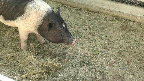 Pig on the farm Footage