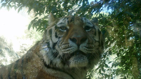 Tiger Wildlife Wild Animal In Zoo Zoological Gardens Footage