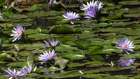 Water Lily Flowers at the Water Hole, Masai Mara Park in Kenya, slow motion Live Action